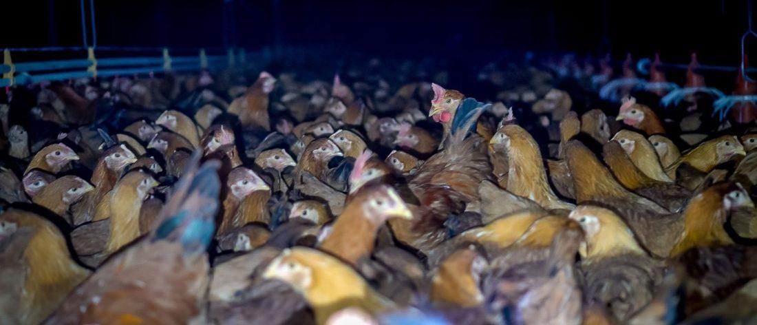 wholefoodchickens