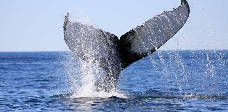 whalingcommission