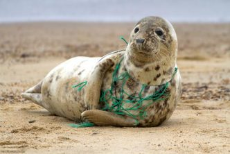 Grey seal wrapped in plastic fishing net